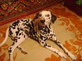 Собаки, щенки Далматин, цена 700 Грн., Фото