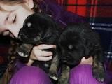 Собаки, щенята Тибетський мастиф, ціна 6500 Грн., Фото