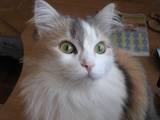 Кошки, котята Европейская короткошерстная, цена 0.10 Грн., Фото