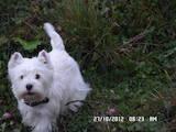 Собаки, щенята Вестхайленд уайт тер'єр, ціна 1200 Грн., Фото