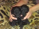 Собаки, щенки Карликовый пудель, цена 600 Грн., Фото