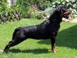 Собаки, щенята Ротвейлер, ціна 5 Грн., Фото
