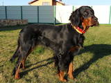 Собаки, щенки Сеттер-гордон, цена 2500 Грн., Фото