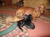 Собаки, щенки Гладкошерстная миниатюрная такса, цена 2800 Грн., Фото