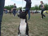 Собаки, щенята Басенджі, ціна 7200 Грн., Фото