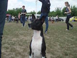 Собаки, щенки Басенджи, цена 7200 Грн., Фото