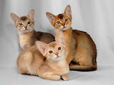 Кошки, котята Абиссинская, Фото