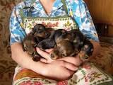 Собаки, щенята Довгошерста кроляча такса, ціна 10 Грн., Фото