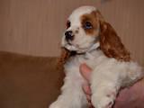 Собаки, щенки Американский коккер, цена 2300 Грн., Фото