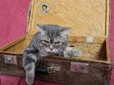 Кішки, кошенята Спаровування, ціна 400 Грн., Фото