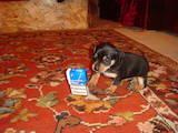 Собаки, щенята Пінчер, ціна 1100 Грн., Фото