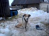 Собаки, щенки Ганноверская гончая, цена 600 Грн., Фото