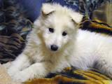 Собаки, щенята Біла Швейцарська вівчарка, ціна 4400 Грн., Фото