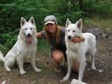 Собаки, щенки Белая Швейцарская овчарка, цена 4400 Грн., Фото