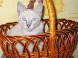 Кошки, котята Тайская, цена 888 Грн., Фото