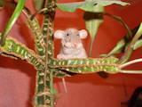 Грызуны Домашние крысы, цена 5 Грн., Фото