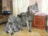Собаки, щенки Мастино неаполетано, цена 8000 Грн., Фото