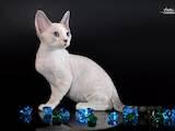 Кошки, котята Девон-рекс, цена 3200 Грн., Фото
