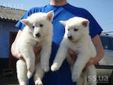 Собаки, щенки Белая Швейцарская овчарка, цена 2000 Грн., Фото