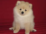 Собаки, щенки Малый шпиц, цена 4000 Грн., Фото