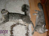 Кошки, котята Норвежская лесная, цена 200 Грн., Фото