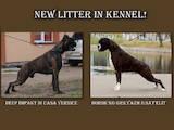 Собаки, щенята Боксер, ціна 4000 Грн., Фото