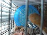 Грызуны Хомяки, цена 25 Грн., Фото