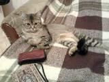 Кішки, кошенята Бурмілла, Фото
