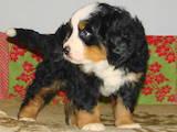 Собаки, щенята Гірський собака Берна, ціна 6000 Грн., Фото