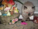 Кошки, котята Балинез, цена 600 Грн., Фото