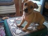 Собаки, щенята Карликовий пінчер, ціна 500 Грн., Фото