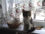 Кошки, котята Турецкая ангора, Фото