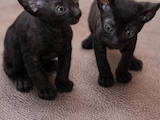 Кошки, котята Корниш-рекс, цена 3000 Грн., Фото