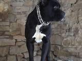 Собаки, щенята Кане Корсо, ціна 10 Грн., Фото