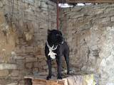 Собаки, щенки Кане Корсо, цена 10 Грн., Фото