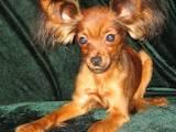 Собаки, щенки Русский длинношерстный тойтерьер, цена 4000 Грн., Фото