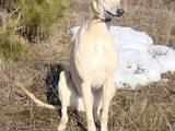Собаки, щенята Грейхаунд, ціна 1200 Грн., Фото