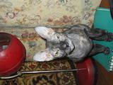 Кошки, котята Сомалийская, цена 1000 Грн., Фото