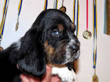 Собаки, щенята Бассет, ціна 50 Грн., Фото