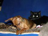 Собаки, щенята Карликовий пінчер, Фото