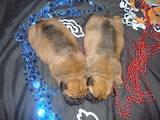 Собаки, щенки Бульмастиф, цена 10 Грн., Фото