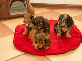 Собаки, щенки Длинношерстная кроличья такса, цена 4500 Грн., Фото