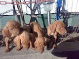 Собаки, щенки Венгерская выжла, цена 1200 Грн., Фото