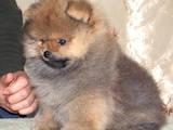 Собаки, щенята Малий шпіц, ціна 16000 Грн., Фото