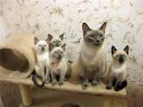 Кішки, кошенята Тайська, ціна 2000 Грн., Фото