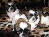 Собаки, щенята Ши-тцу, ціна 2000 Грн., Фото