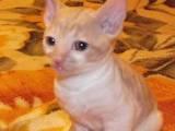 Кішки, кошенята Корніш-рекс, ціна 1200 Грн., Фото
