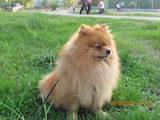 Собаки, щенята Малий шпіц, ціна 1200 Грн., Фото