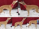 Собаки, щенята Грейхаунд, ціна 6100 Грн., Фото