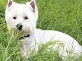 Собаки, щенята Вестхайленд уайт тер'єр, Фото